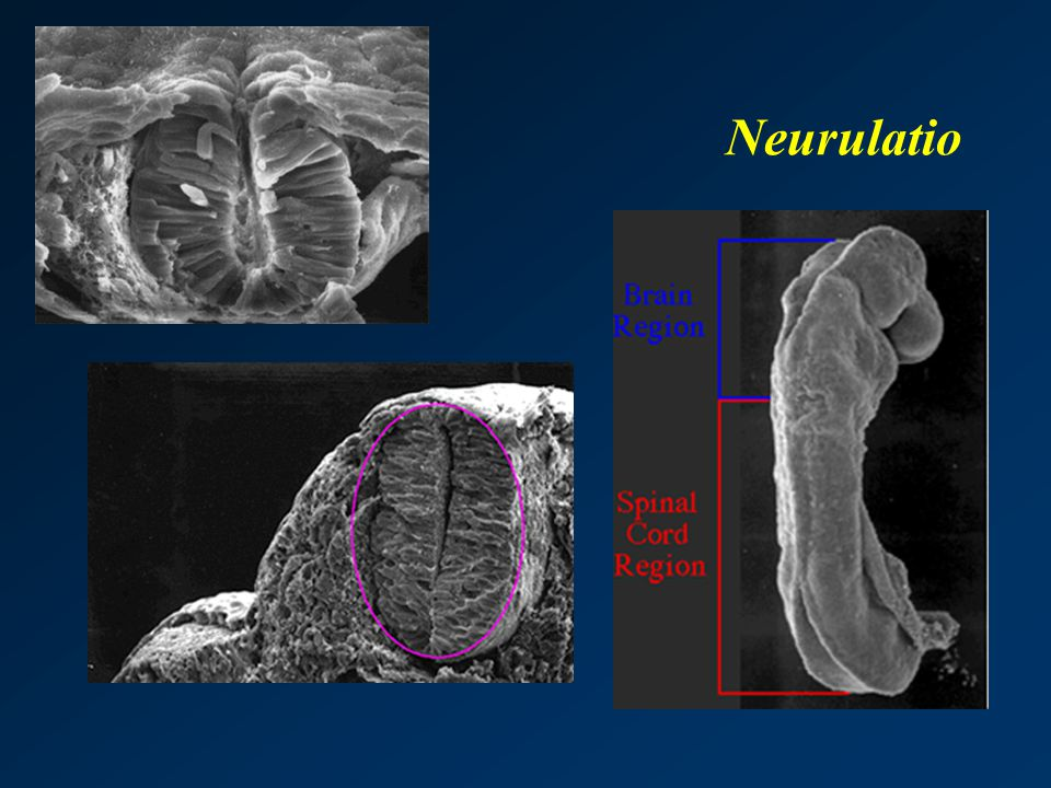 Neurulatio