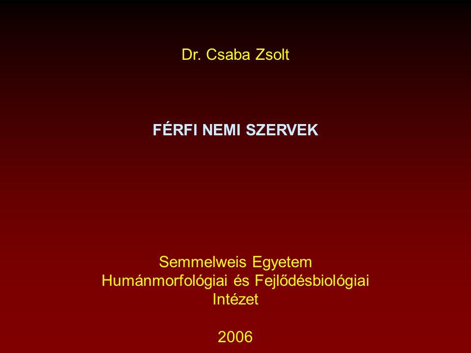 Dr. Csaba Zsolt FÉRFI NEMI SZERVEK Semmelweis Egyetem Humánmorfológiai és Fejlődésbiológiai Intézet 2006