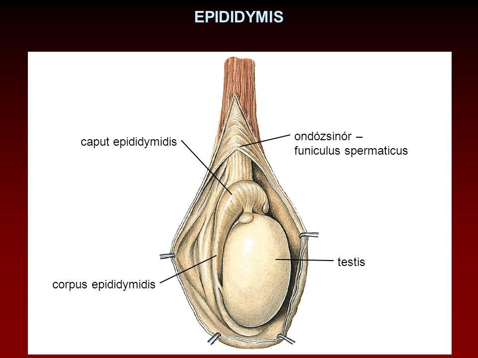 EPIDIDYMIS caput epididymidis corpus epididymidis testis ondózsinór – funiculus spermaticus