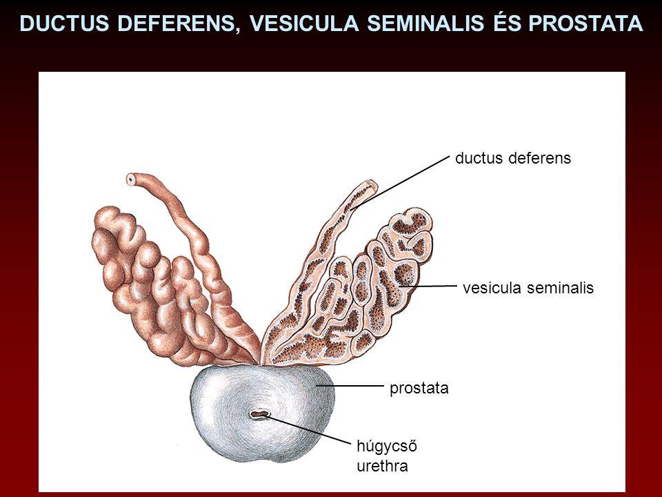 DUCTUS DEFERENS, VESICULA SEMINALIS ÉS PROSTATA vesicula seminalis ductus deferens prostata húgycső urethra