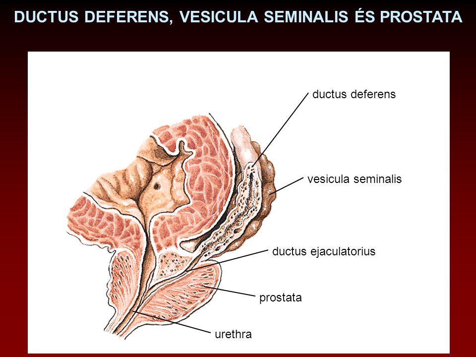vesicula seminalis ductus deferens prostata urethra ductus ejaculatorius DUCTUS DEFERENS, VESICULA SEMINALIS ÉS PROSTATA