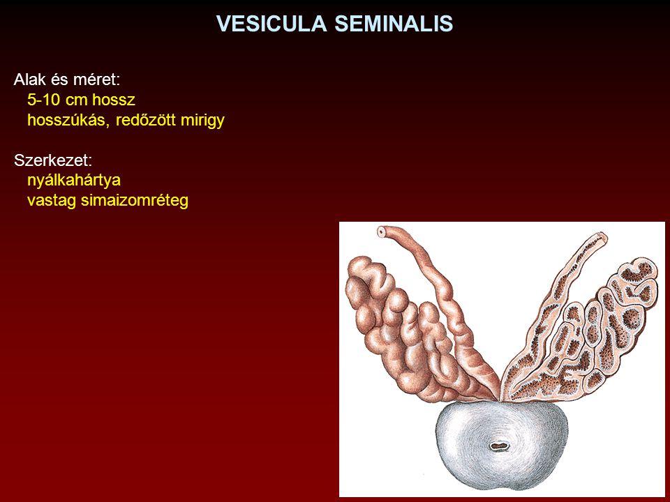 VESICULA SEMINALIS Alak és méret: 5-10 cm hossz hosszúkás, redőzött mirigy Szerkezet: nyálkahártya vastag simaizomréteg