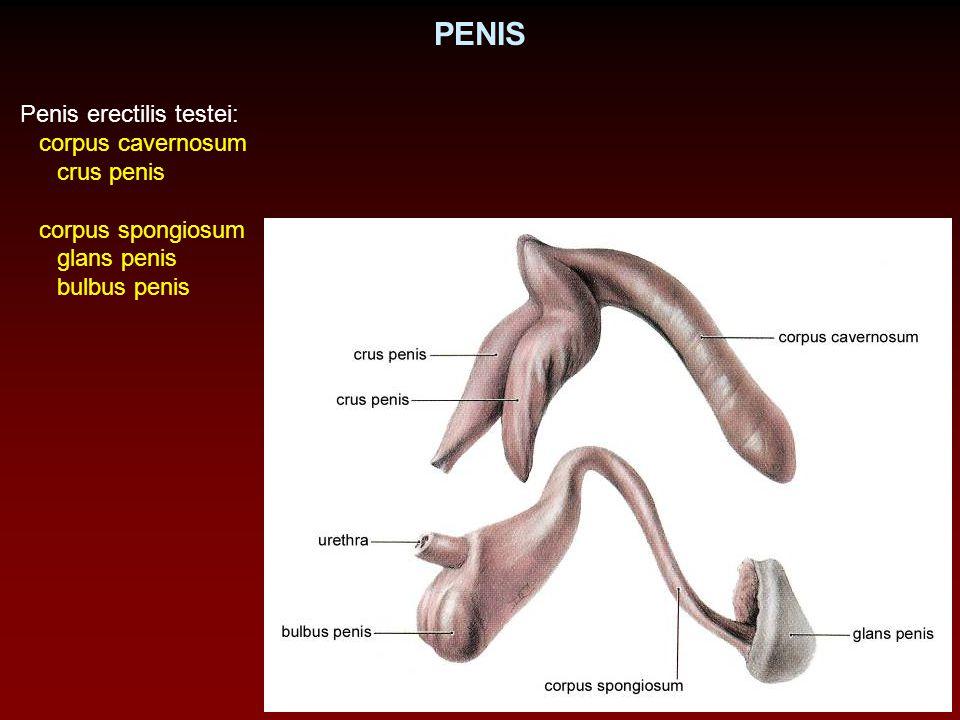 PENIS Penis erectilis testei: corpus cavernosum crus penis corpus spongiosum glans penis bulbus penis