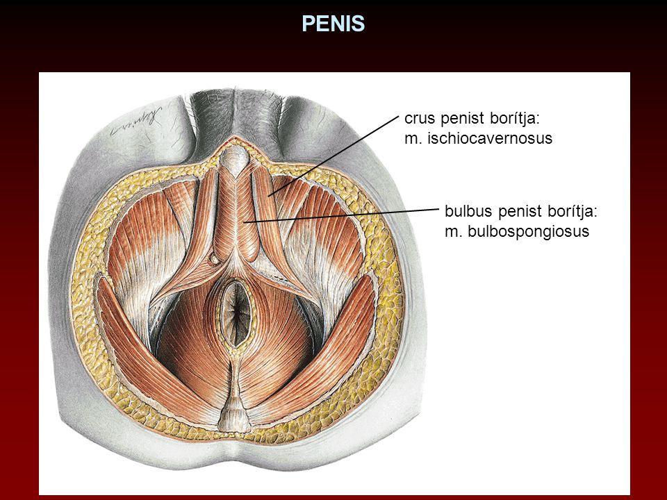 PENIS crus penist borítja: m. ischiocavernosus bulbus penist borítja: m. bulbospongiosus