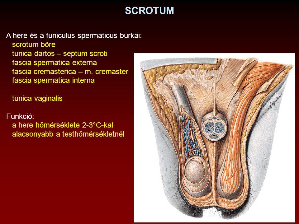 SCROTUM A here és a funiculus spermaticus burkai: scrotum bőre tunica dartos – septum scroti fascia spermatica externa fascia cremasterica – m. cremas