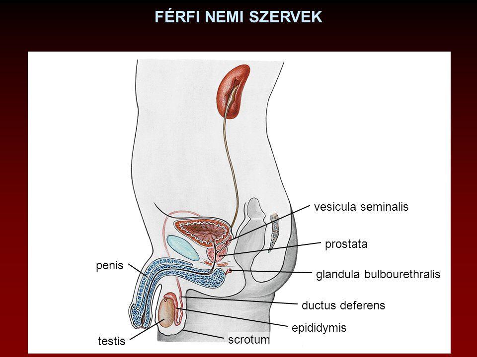 FÉRFI NEMI SZERVEK testis epididymis ductus deferens prostata vesicula seminalis penis scrotum glandula bulbourethralis