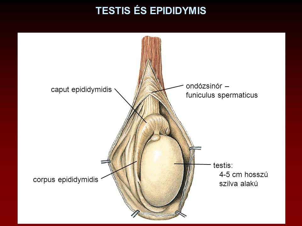 TESTIS ÉS EPIDIDYMIS caput epididymidis corpus epididymidis testis: 4-5 cm hosszú szilva alakú ondózsinór – funiculus spermaticus