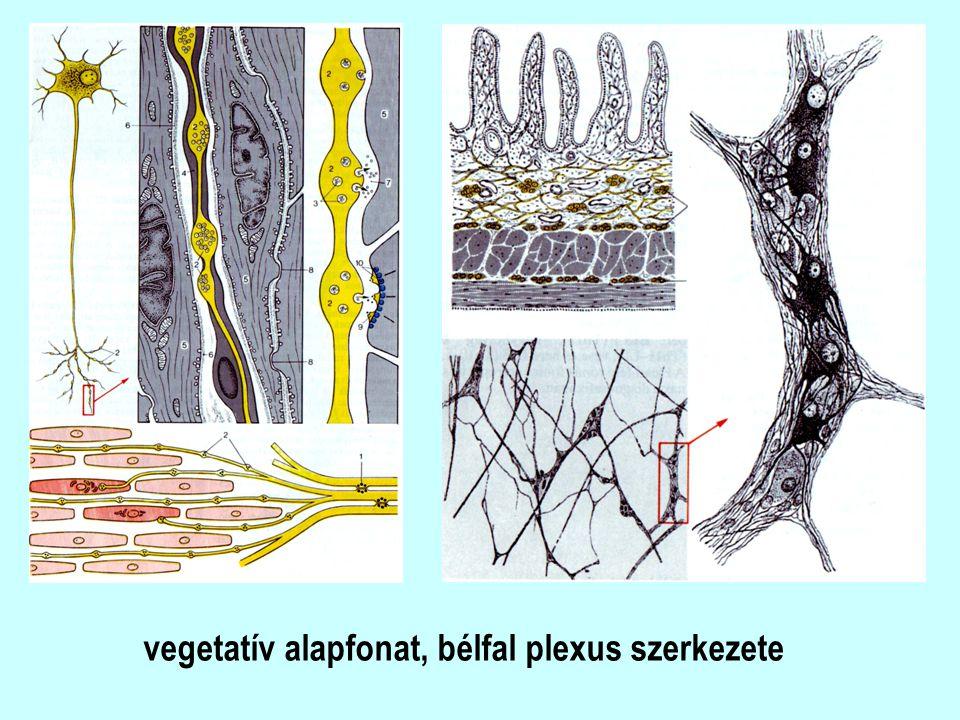 vegetatív alapfonat, bélfal plexus szerkezete