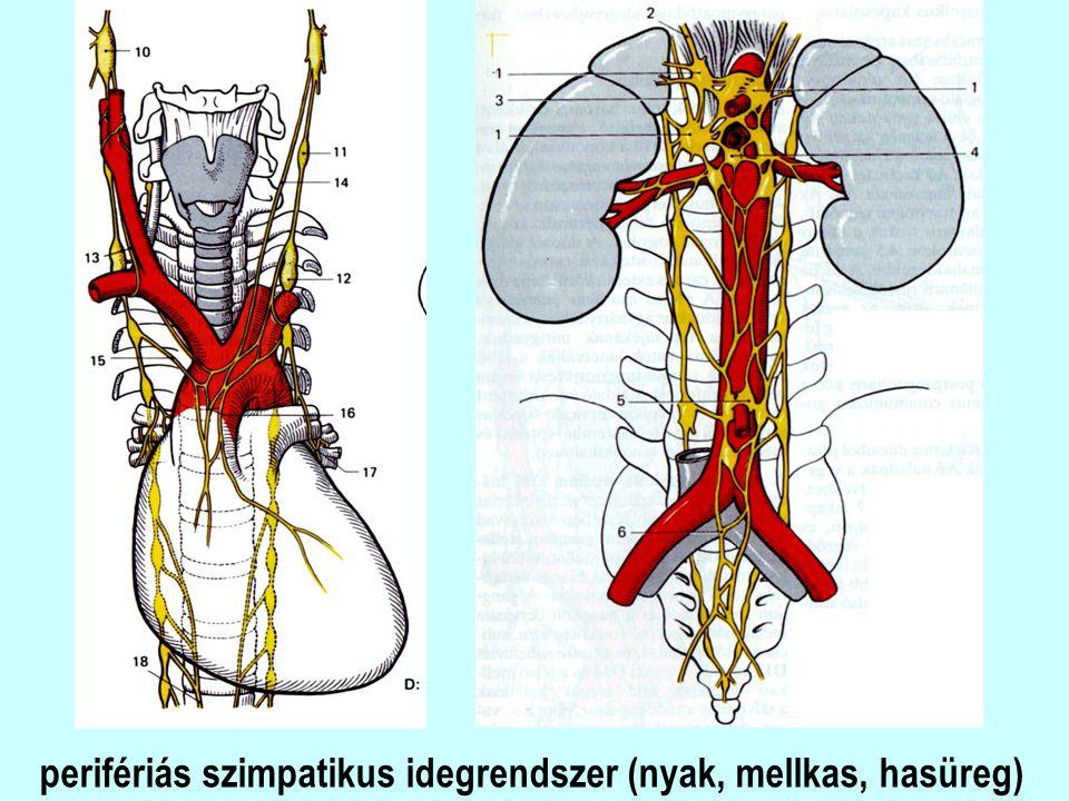 perifériás szimpatikus idegrendszer (nyak, mellkas, hasüreg)