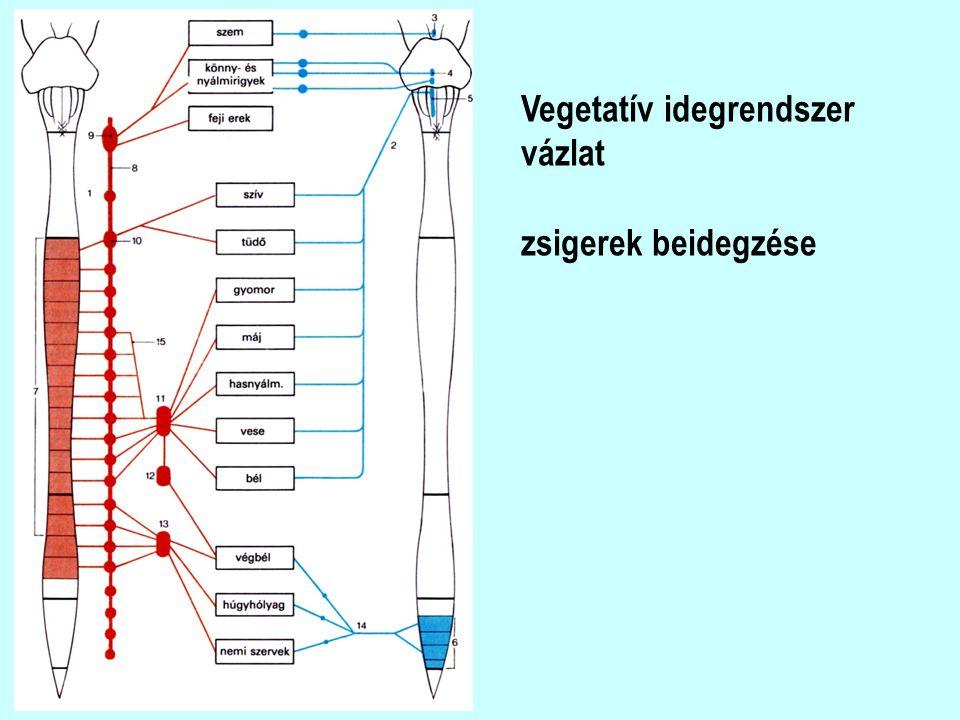Vegetatív idegrendszer vázlat zsigerek beidegzése