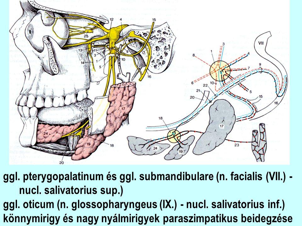 ggl. pterygopalatinum és ggl. submandibulare (n. facialis (VII.) - nucl. salivatorius sup.) ggl. oticum (n. glossopharyngeus (IX.) - nucl. salivatoriu