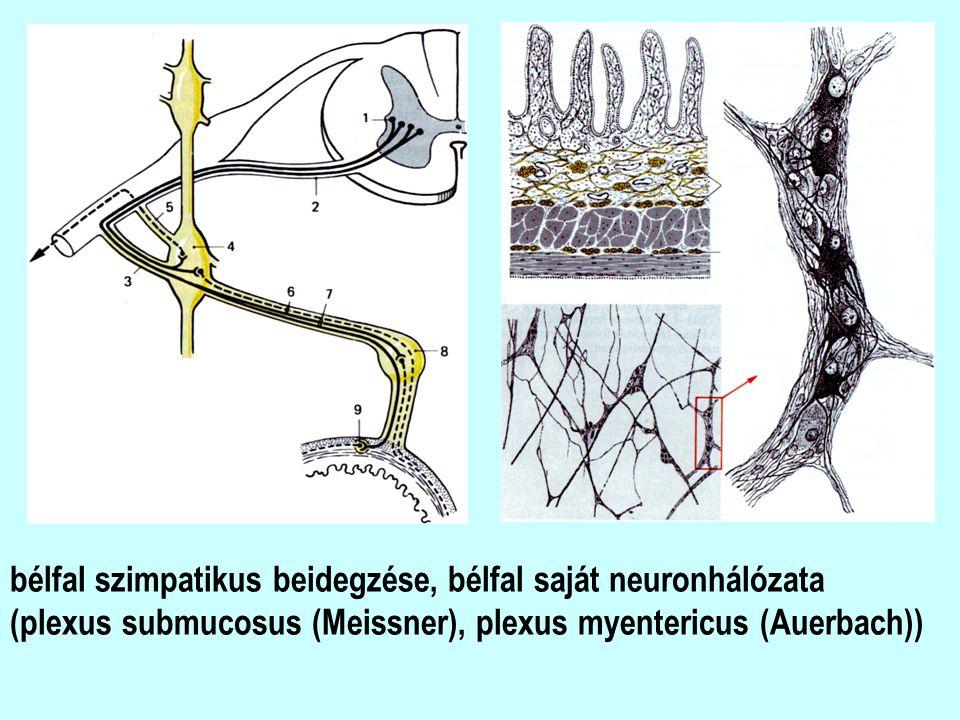 bélfal szimpatikus beidegzése, bélfal saját neuronhálózata (plexus submucosus (Meissner), plexus myentericus (Auerbach))