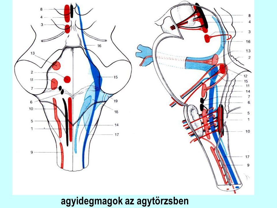 szimpatikus hatások: α és β noradrenerg receptorok: α: a bőr és a belső szervek erei (kontrakció), m.