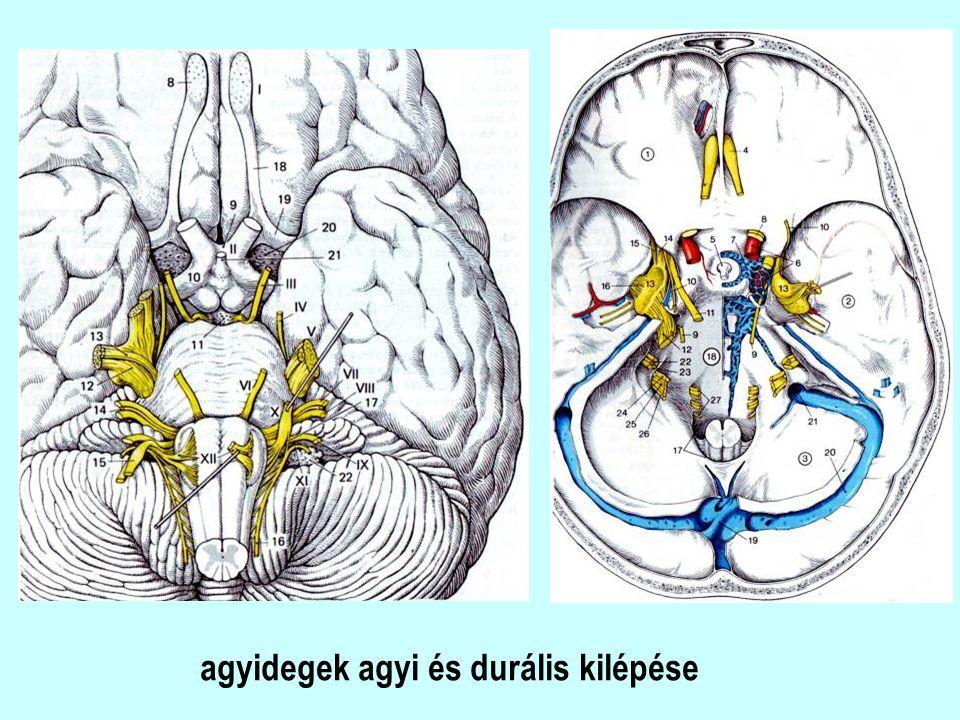 agyidegek agyi és durális kilépése