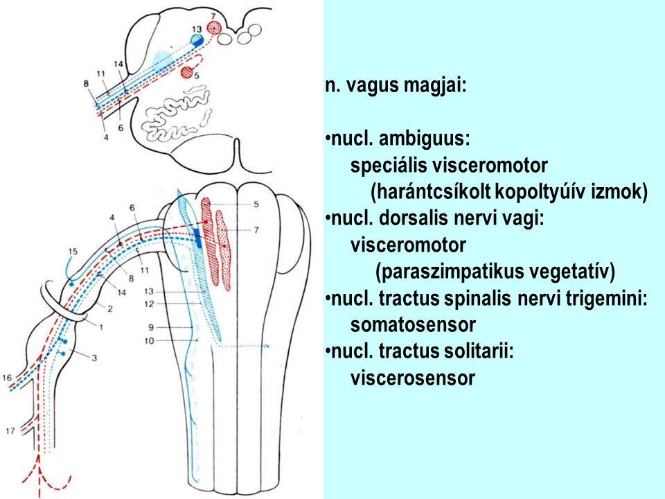 n. vagus magjai: nucl. ambiguus: speciális visceromotor (harántcsíkolt kopoltyúív izmok) nucl. dorsalis nervi vagi: visceromotor (paraszimpatikus vege