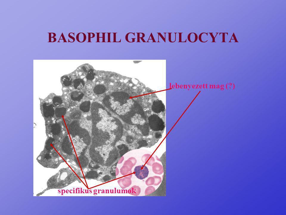 EOSINOPHIL GRANULOCYTA specifikus granulumok (krisztalloid, MBP, /major basic protein/) kétlebenyű mag