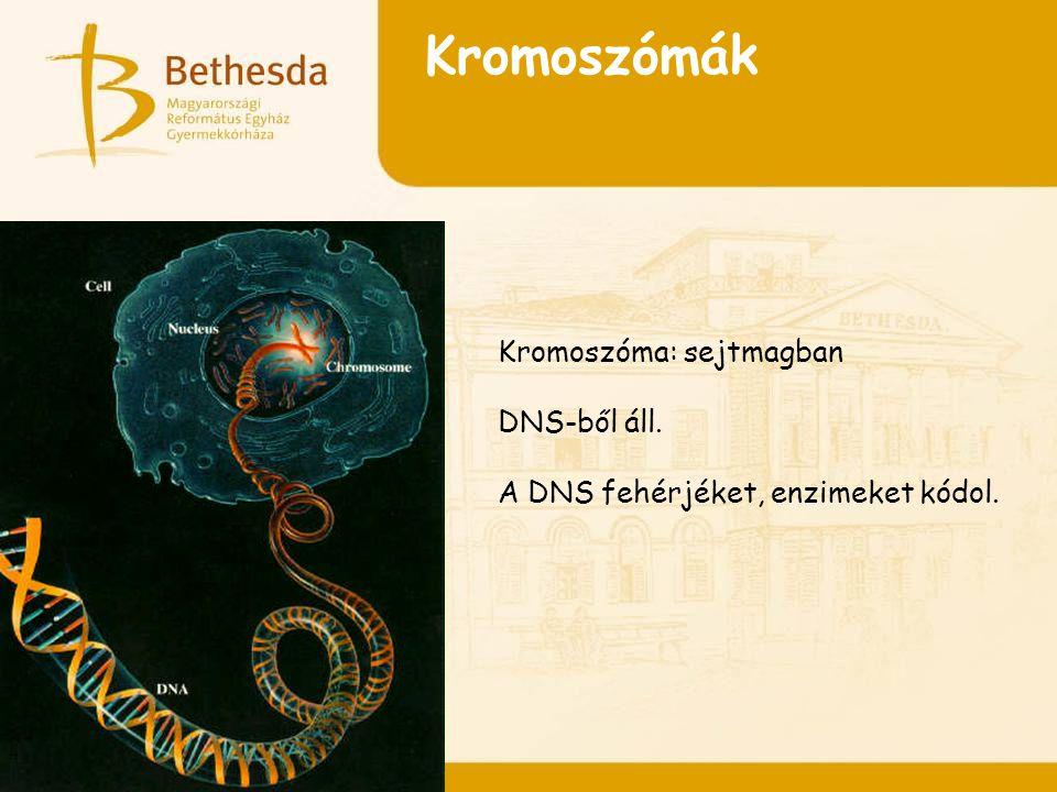 Kromoszómák Kromoszóma: sejtmagban DNS-ből áll. A DNS fehérjéket, enzimeket kódol.