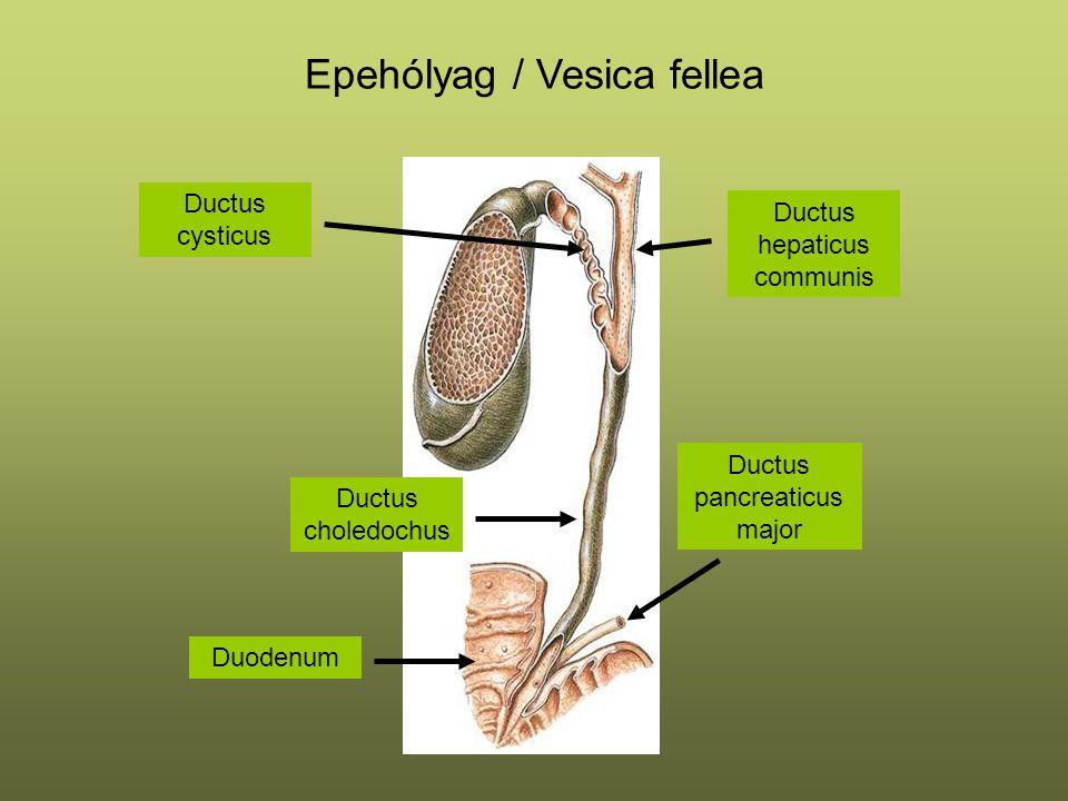 Epehólyag / Vesica fellea Ductus choledochus Ductus hepaticus communis Ductus pancreaticus major Ductus cysticus Duodenum