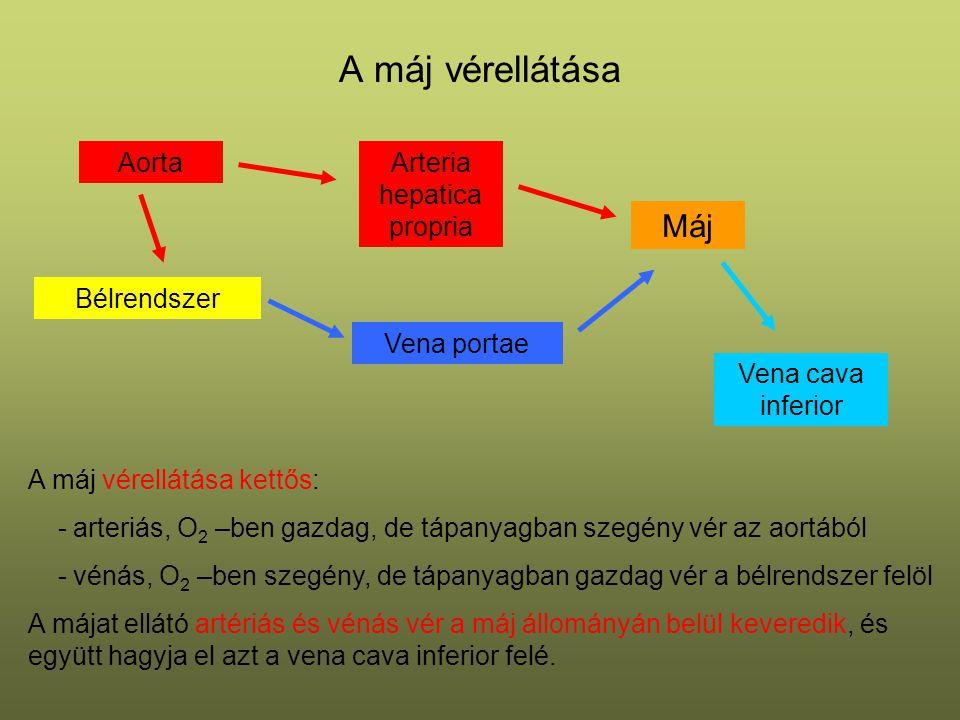 A máj vérellátása Bélrendszer Máj Aorta Vena portae Arteria hepatica propria Vena cava inferior A máj vérellátása kettős: - arteriás, O 2 –ben gazdag,