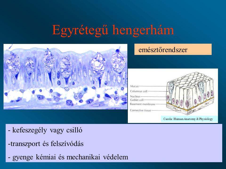 Egyrétegű hengerhám emésztőrendszer - kefeszegély vagy csilló -transzport és felszívódás - gyenge kémiai és mechanikai védelem Carola: Human Anatomy & Physiology