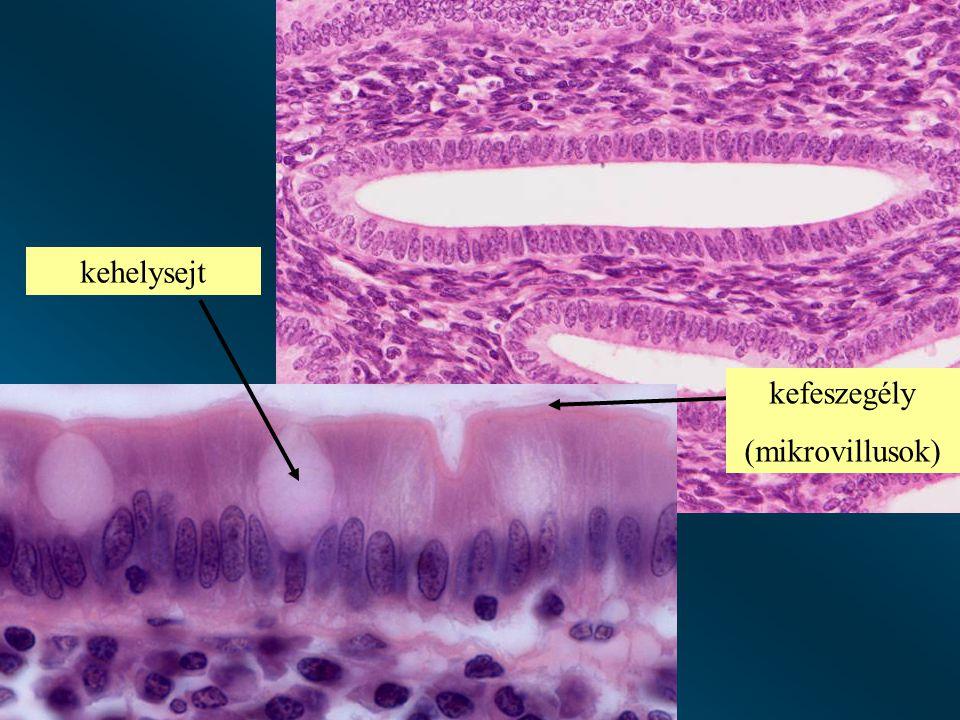 kefeszegély (mikrovillusok) kehelysejt