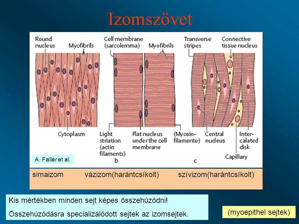 Izomszövet simaizom vázizom(harántcsíkolt) szívizom(harántcsíkolt) (myoepithel sejtek) Kis mértékben minden sejt képes összehúzódni.
