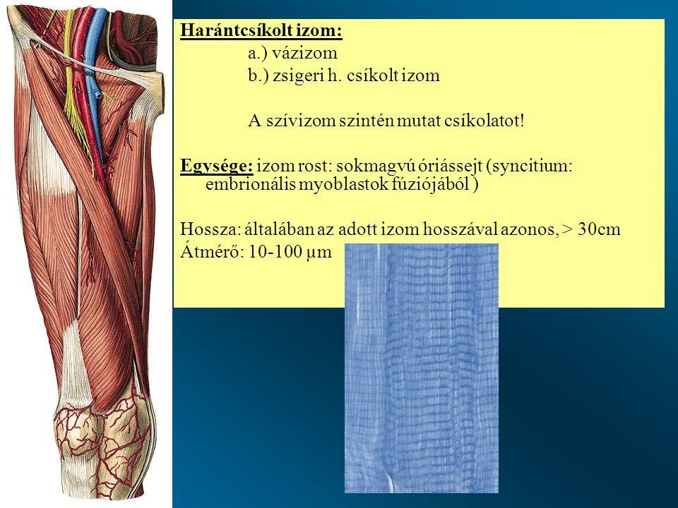 Harántcsíkolt izom: a.) vázizom b.) zsigeri h.csíkolt izom A szívizom szintén mutat csíkolatot.