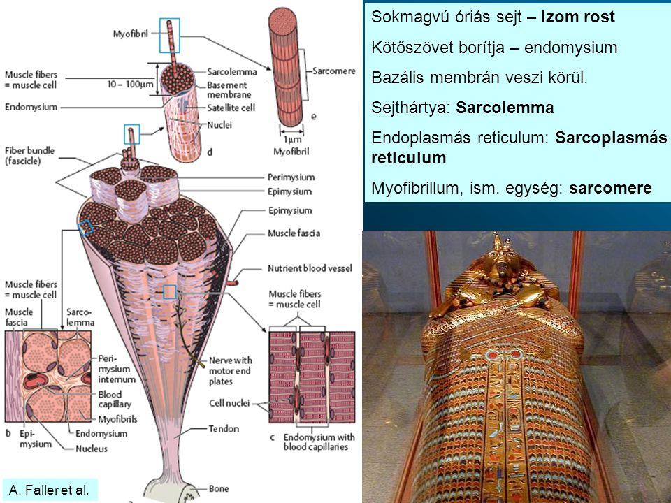 Sokmagvú óriás sejt – izom rost Kötőszövet borítja – endomysium Bazális membrán veszi körül.