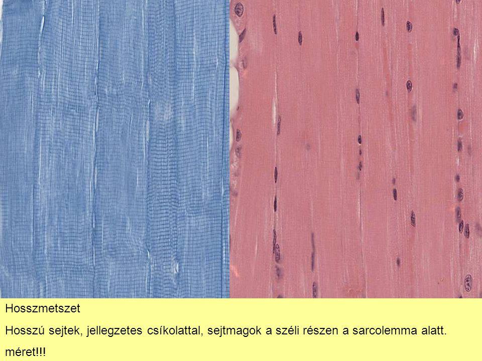 Hosszmetszet Hosszú sejtek, jellegzetes csíkolattal, sejtmagok a széli részen a sarcolemma alatt.
