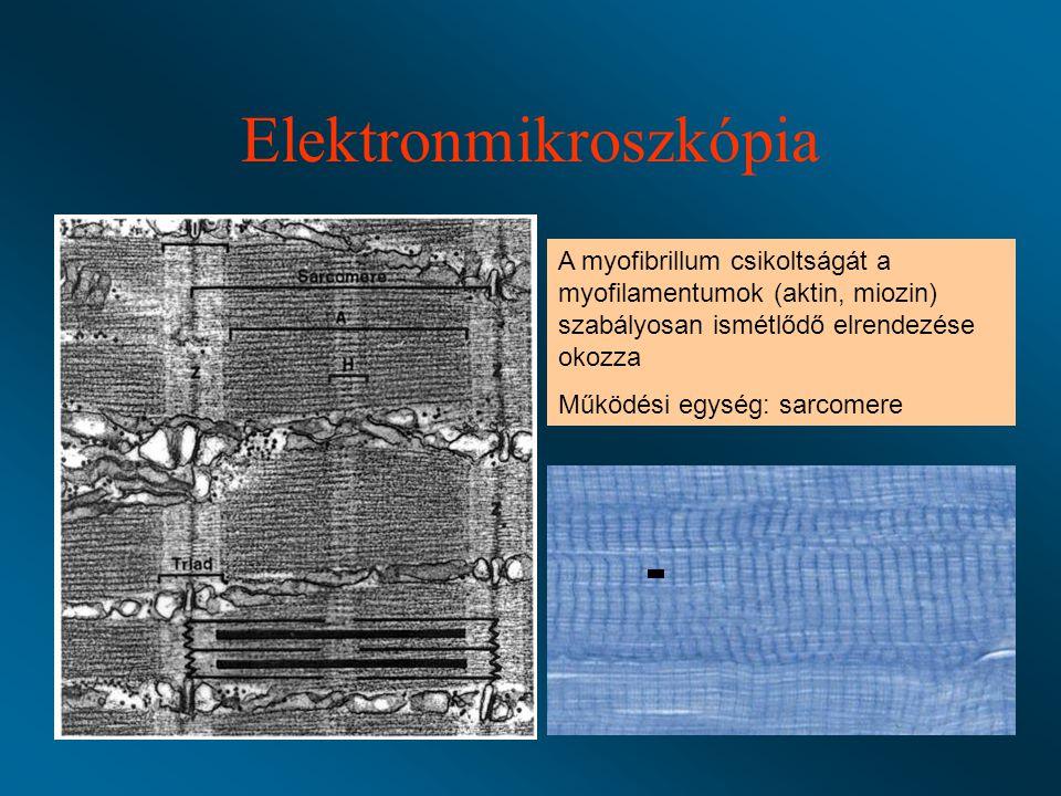 Elektronmikroszkópia A myofibrillum csikoltságát a myofilamentumok (aktin, miozin) szabályosan ismétlődő elrendezése okozza Működési egység: sarcomere