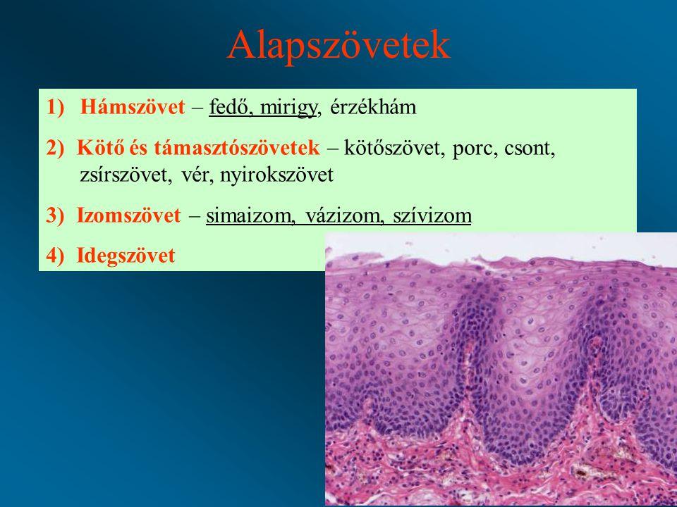 Alapszövetek 1)Hámszövet – fedő, mirigy, érzékhám 2) Kötő és támasztószövetek – kötőszövet, porc, csont, zsírszövet, vér, nyirokszövet 3) Izomszövet – simaizom, vázizom, szívizom 4) Idegszövet