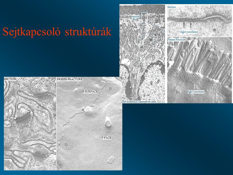 Többrétegű el nem szarusodó laphám: szájüreg, garat, esophagus, vagina Stratum planocellulare Stratum polygonale (str.
