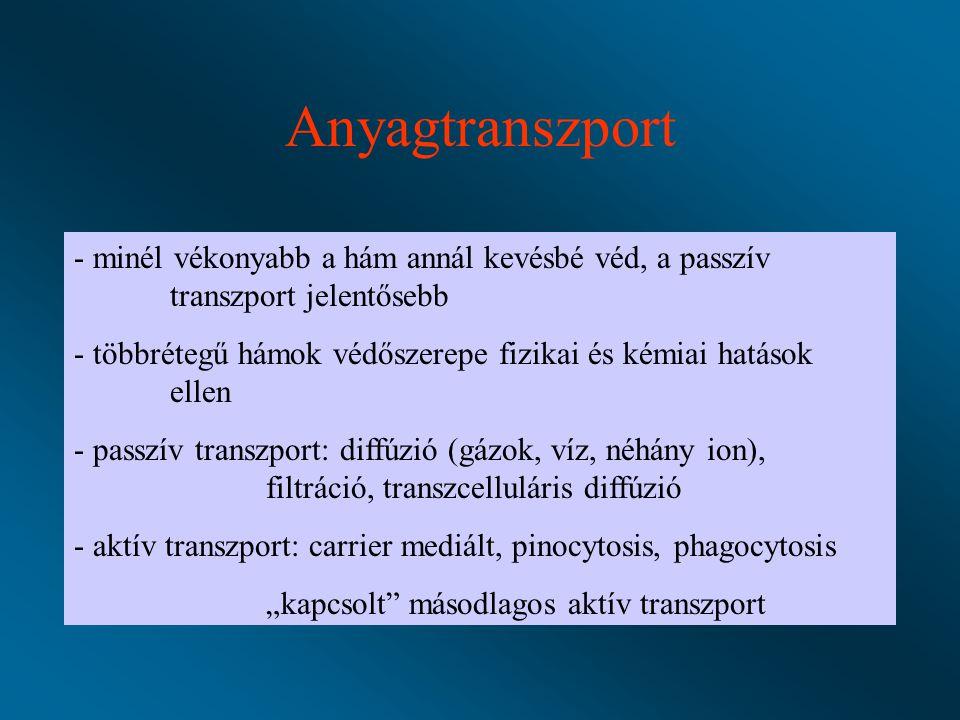 """Anyagtranszport - minél vékonyabb a hám annál kevésbé véd, a passzív transzport jelentősebb - többrétegű hámok védőszerepe fizikai és kémiai hatások ellen - passzív transzport: diffúzió (gázok, víz, néhány ion), filtráció, transzcelluláris diffúzió - aktív transzport: carrier mediált, pinocytosis, phagocytosis """"kapcsolt másodlagos aktív transzport"""