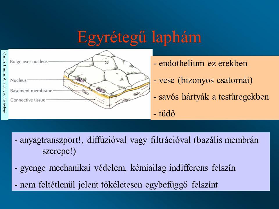 Erek - endothel