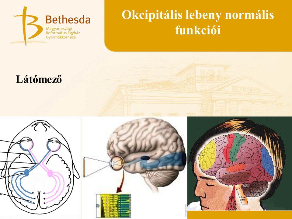 Okcipitális lebeny normális funkciói Látómező