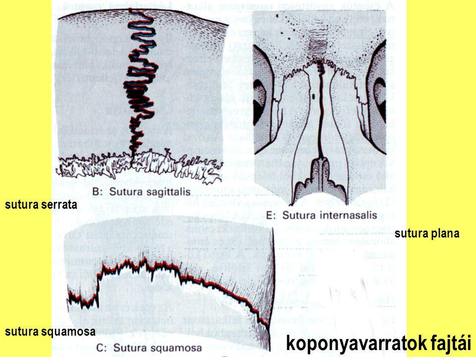 koponyavarratok fajtái sutura plana sutura serrata sutura squamosa