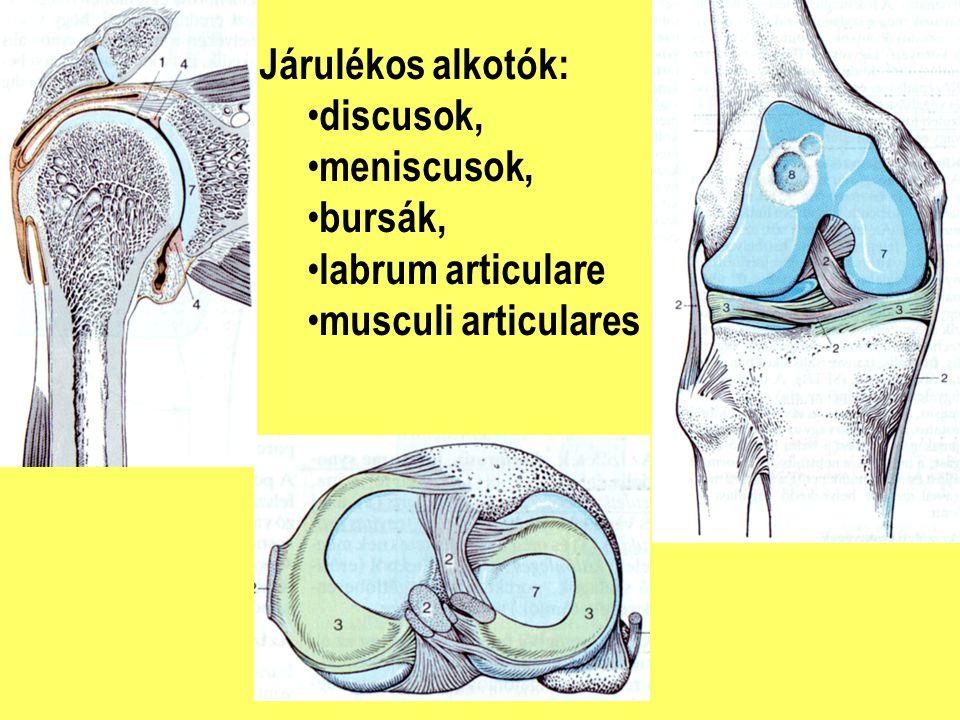 Járulékos alkotók: discusok, meniscusok, bursák, labrum articulare musculi articulares