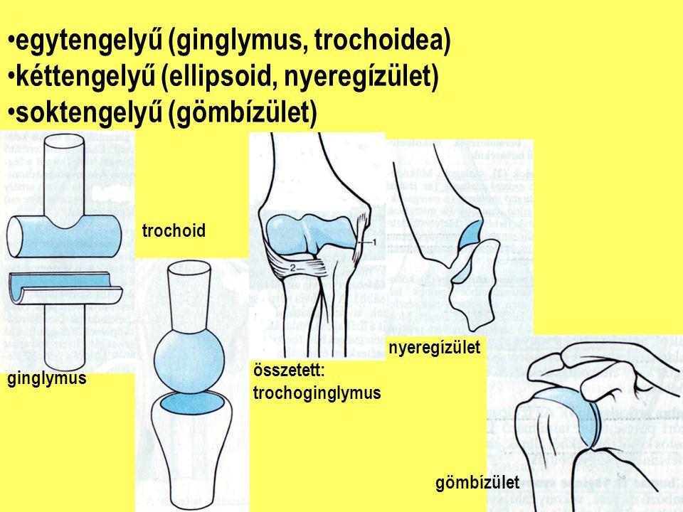egytengelyű (ginglymus, trochoidea) kéttengelyű (ellipsoid, nyeregízület) soktengelyű (gömbízület) ginglymus trochoid összetett: trochoginglymus nyeregízület gömbízület