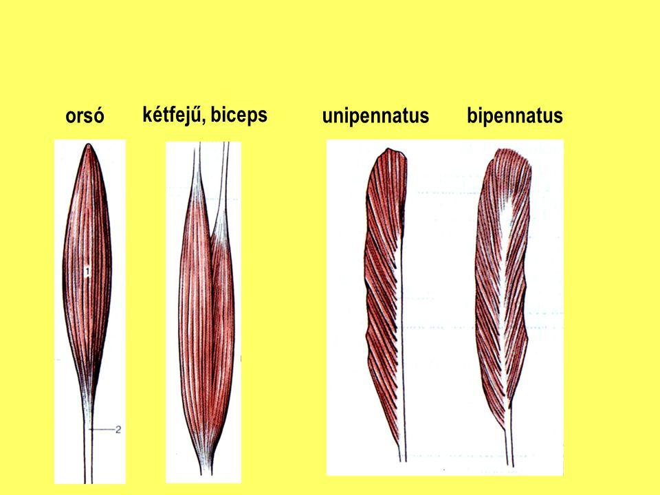 orsó kétfejű, biceps unipennatusbipennatus