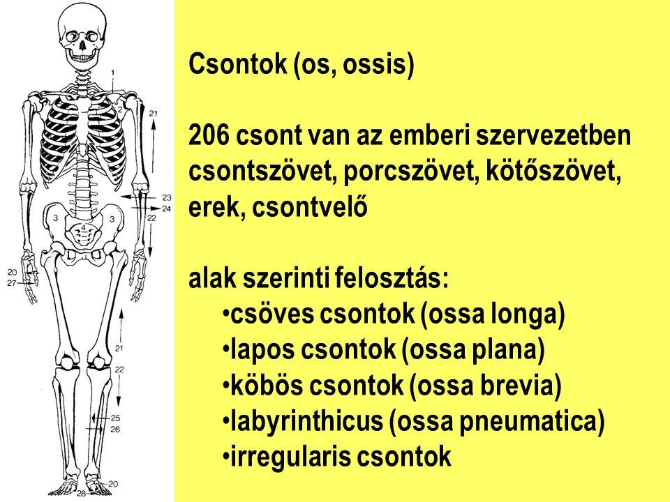 Csontok (os, ossis) 206 csont van az emberi szervezetben csontszövet, porcszövet, kötőszövet, erek, csontvelő alak szerinti felosztás: csöves csontok (ossa longa) lapos csontok (ossa plana) köbös csontok (ossa brevia) labyrinthicus (ossa pneumatica) irregularis csontok