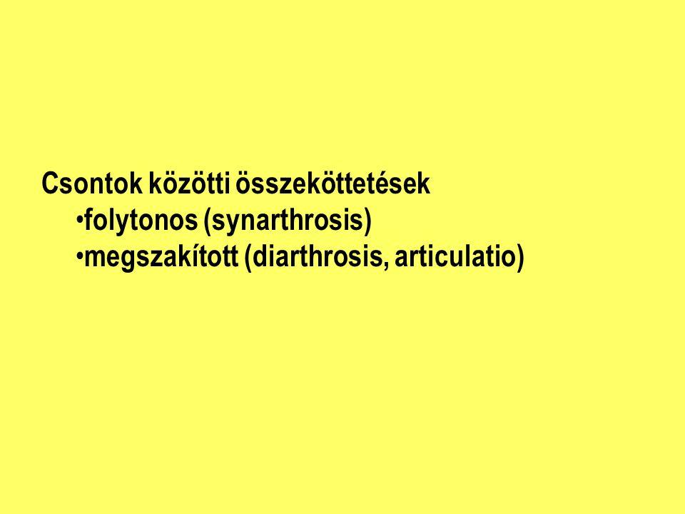 Csontok közötti összeköttetések folytonos (synarthrosis) megszakított (diarthrosis, articulatio)