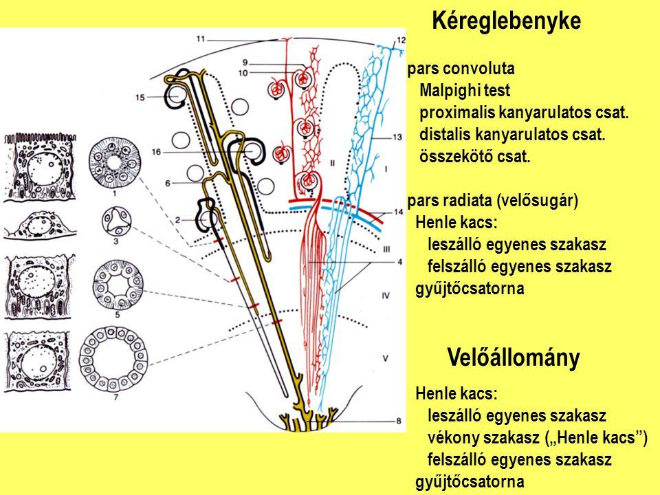 Kéreglebenyke pars convoluta Malpighi test proximalis kanyarulatos csat. distalis kanyarulatos csat. összekötő csat. pars radiata (velősugár) Henle ka
