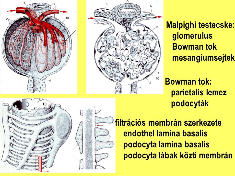 Malpighi testecske: glomerulus Bowman tok mesangiumsejtek filtrációs membrán szerkezete endothel lamina basalis podocyta lamina basalis podocyta lábak
