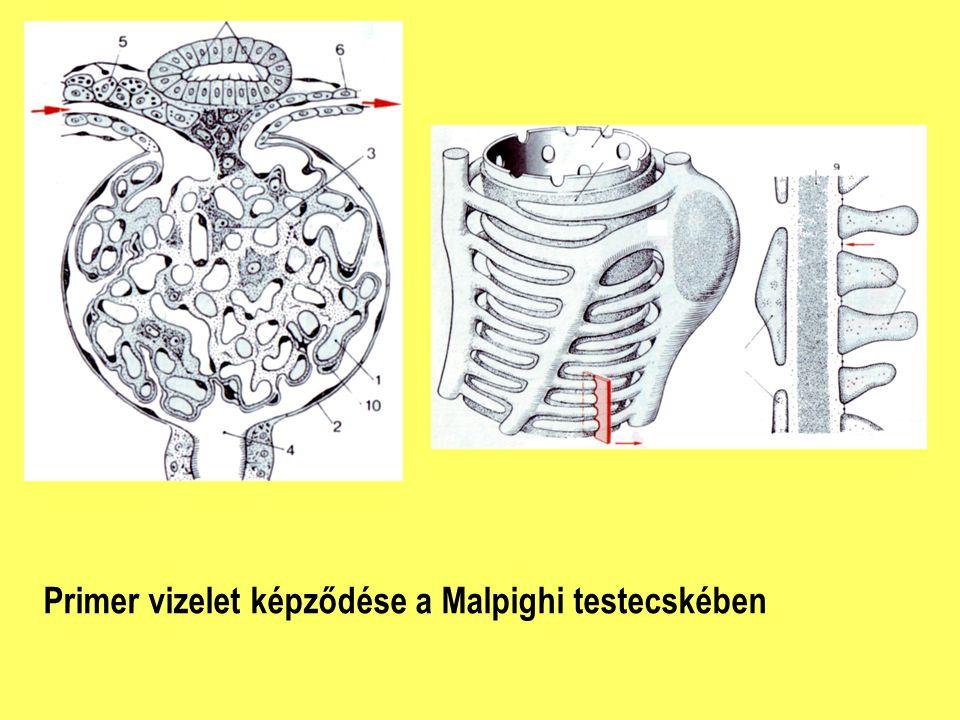 Primer vizelet képződése a Malpighi testecskében