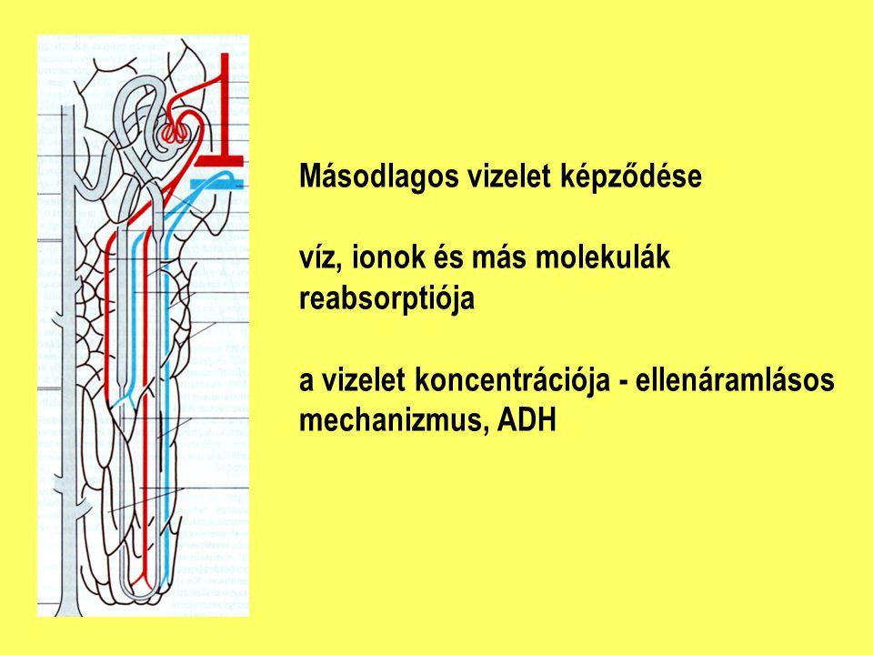 Másodlagos vizelet képződése víz, ionok és más molekulák reabsorptiója a vizelet koncentrációja - ellenáramlásos mechanizmus, ADH