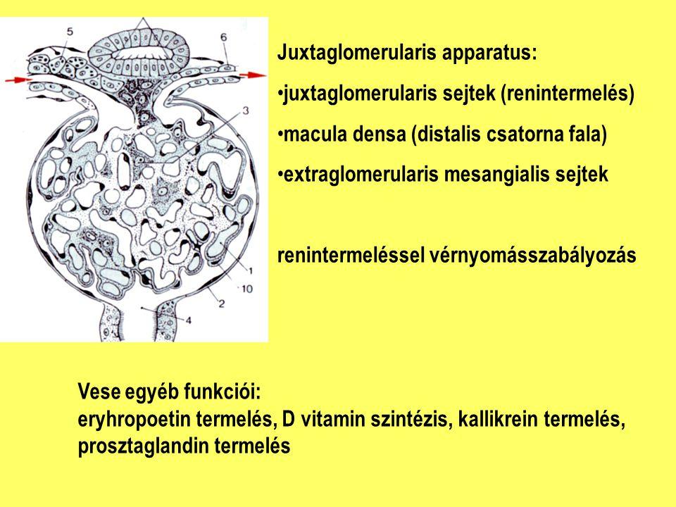 Juxtaglomerularis apparatus: juxtaglomerularis sejtek (renintermelés) macula densa (distalis csatorna fala) extraglomerularis mesangialis sejtek renin