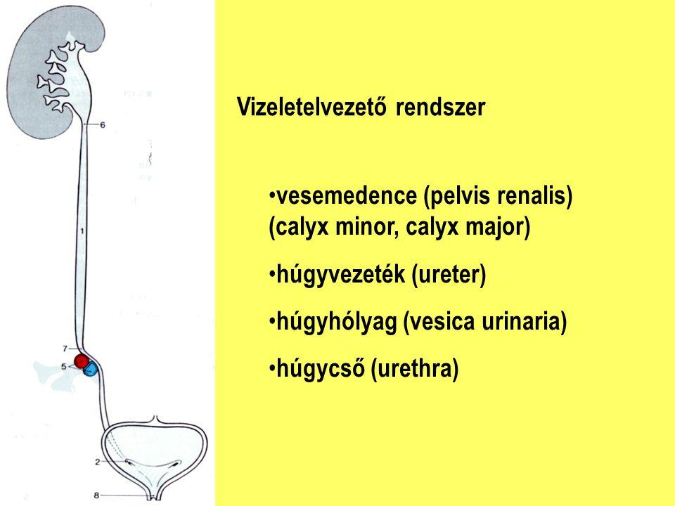 Vizeletelvezető rendszer vesemedence (pelvis renalis) (calyx minor, calyx major) húgyvezeték (ureter) húgyhólyag (vesica urinaria) húgycső (urethra)
