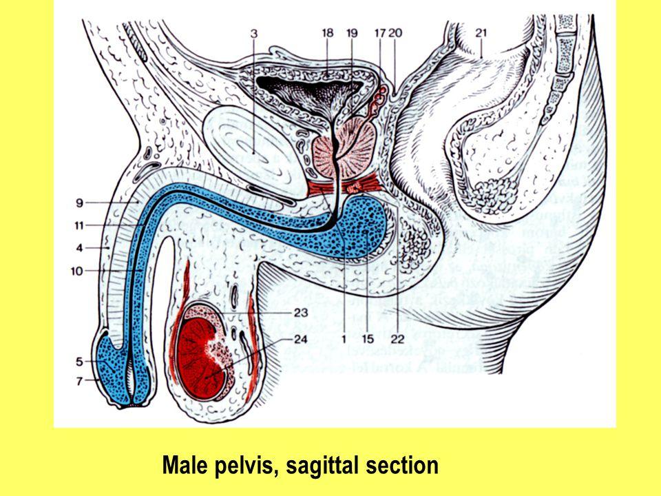 Male pelvis, sagittal section