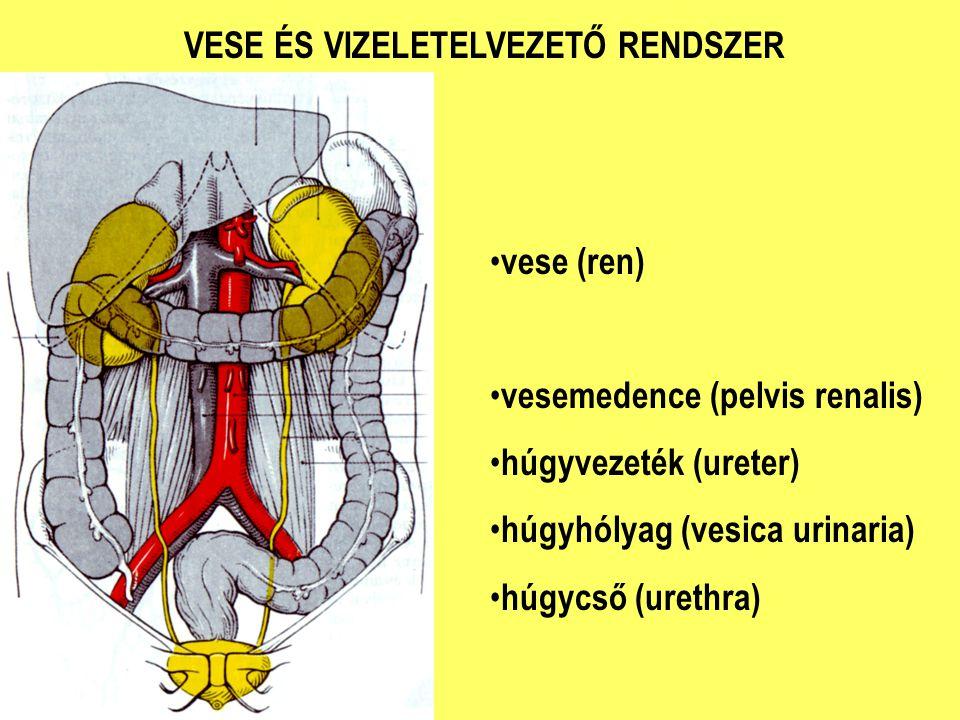 vese (ren) vesemedence (pelvis renalis) húgyvezeték (ureter) húgyhólyag (vesica urinaria) húgycső (urethra)
