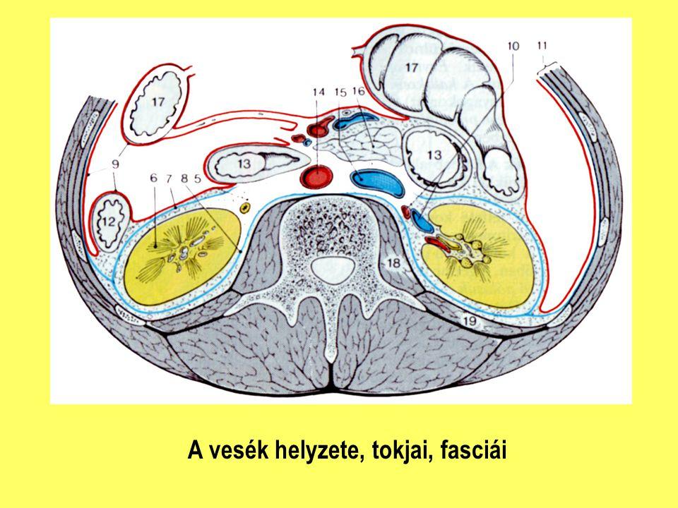 Vese vérellátása, veselebenyek, vesemedence a.renalis a.